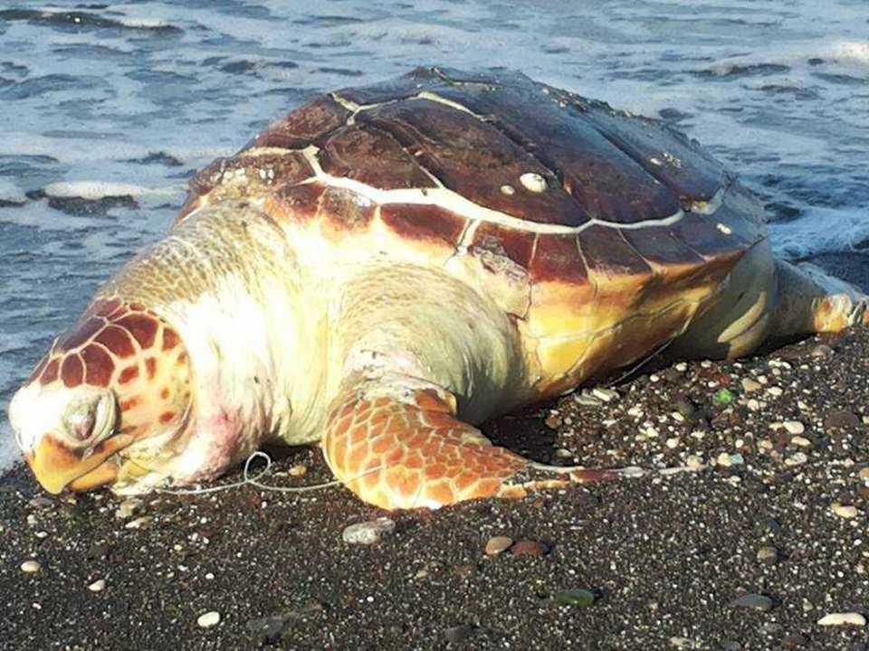 Tartaruga trovata morta su una spiaggia di portici for Piani casa sulla spiaggia con portici