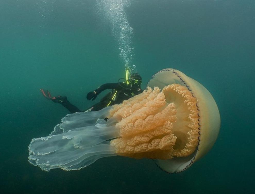 Cornovaglia , avvistamento choc: ecco la medusa gigante grande quanto un uomo.