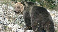 L'orso M49 scappa da recinto elettrificato: rischia l'abbattimento se si avvicina alle case