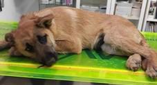 Cucciolo di cane chiuso in un sacchetto e abbandonato tra i rifiuti perché malato: salvato, ora cerca casa