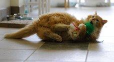Gatto percorre 19 km per tornare a casa, ma i padroni vogliono fargli l'iniezione letale