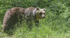 Un altro orso bruno muore durante la cattura nel parco dell'Abruzzo