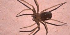 Immagine Morso da un ragno violino, perde uso di reni e braccio