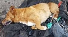 Identificato e denunciato il bruto che ha preso a bastonate e gettato nei rifiuti il cagnolino Lucky