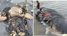 Capodoglio morto in spiaggia, nello stomaco 6 chili di plastica: 4 bottiglie, 115 bicchieri e anche due infradito
