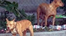 Tre pit bull scappano da un recinto, entrano in giardino e aggrediscono una coppia: grave la donna