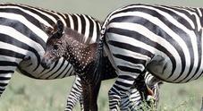 Nata la prima zebra a pois, in Kenya esemplare con i puntini al posto delle strisce