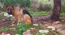 Cane legato e abbandonato all'inferriata del comando di polizia locale: salvato dai vigili