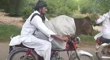 Una mucca in motorino, lo scatto della strana corsa diventa virale