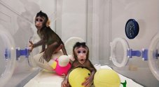 Clonate le prime cinque scimmie malate per studiare diabete, ansia e tumori: sono insonni