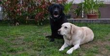 Immagine Bimba 16 mesi azzannata al volto dal suo Labrador