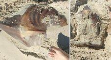 «Qualcuno sa di cosa si tratta?»: trovato uno strano animale su una spiaggia australiana