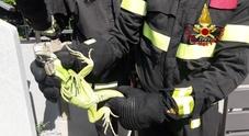 «Aiuto, c'è un'iguana nel mio giardino»: è giallo sul proprietario sbadato