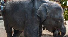 Morta Dumbo, l'elefantina costretta a ballare in uno zoo con le zampe spezzate