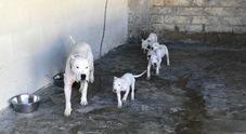 Cani da combattimento in una struttura lager