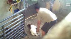 Agnellini torturati prima della macellazione, presi a calci e lanciati in aria: le immagini choc