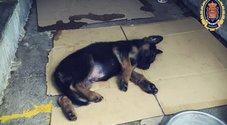Un cucciolo di pastore tedesco commuove gli agenti: ecco il piccolo Stan Lee