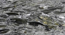 Gli effetti del riscaldamento globale: strage di salmoni in Alaska