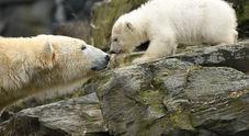 Un batuffolo di pelo bianco: a Berlino arriva l'erede dell'orsetto Knut