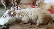 Morto Torquato, l'agnello salvato dal macello che credeva di essere un cane