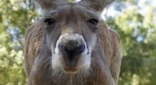 Canguro ucciso a sassate dai visitatori di uno zoo: volevano vedere come saltava