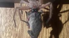 Ragno gigante uccide e mangia un opossum, la scena choc fa il giro del mondo