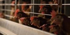 Immagine Diecimila galline morte di caldo nel Bresciano