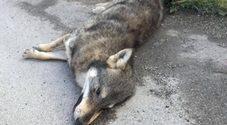 Era un lupo l'animale trovato privo  di vita tra Sassano e Sala Consilina