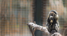 Arrivano i cercopitechi di Brazzà e il Fossa del Madagascar allo Zoo di Napoli