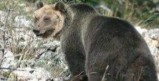 Immagine L'orso M49 avvistato nella gola Bletterbach