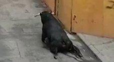 Salto troppo alto, toro si spezza le zampe e agonizza in strada: il video che indigna la Spagna