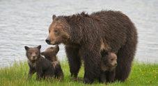 Orso Grizzly, non più razza protetta: negli Usa si riapre la caccia in alcuni stati. Protestano gli animalisti