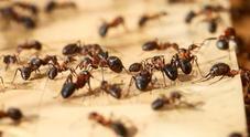 Identificate le formiche più veloci del mondo nel nord del Sahara Video