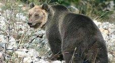 Il Parco d'Abruzzo pronto a ospitare l'orso condannato a morte in Trentino