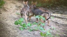 Sorpresa a Roma, sei cuccioli di lupo nati nell'oasi di Castel di Guido Il video su Facebook