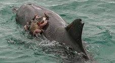 Il polpo pigro chiede un «passaggio» al delfino: la foto fa il giro del web