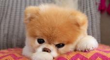 Muore Boo, il cane più bello del mondo