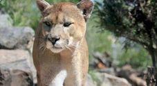 Puma attacca ciclisti, un morto e un ferito grave. «Secondo caso negli ultimi 94 anni»