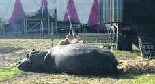 «Animali prigionieri nel circo», invito a boicottare lo spettacolo