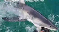 Faccia a faccia con il grande squalo bianco: l'incontro ravvicinato