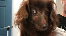 Scomparsa nel nulla per 5 anni, cagnolina bassotto sorda e cieca torna a casa