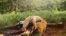 Ecco il leopardo rosa che si nutre di una giraffa: la rara immagine catturata da vicino
