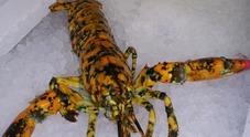 Un colore «speciale» salva dalla pentola l'aragosta Eva