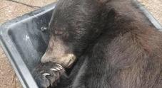 «Cara, c'è un orso che dorme nell'armadio», ritorno a casa di terrore per una coppia