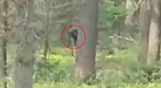 Bigfoot catturato in un video nel bosco? Ecco le immagini incredibili