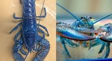 Una rarissima aragosta blu al ristorante e la scoperta ha un lieto fine...