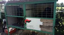 Napoli, scoperto il canile degli orrori: rottweiler nelle gabbie per uccelli