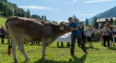 Le mucche hanno la loro Miss, concorso per la più bella in Trentino