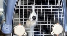 Sbarca dall'aereo a Capodichino,  il cane smarrito con i bagagli