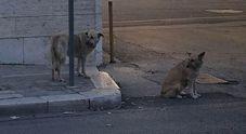 Due cani aspettano per 15 giorni davanti all'ospedale l'uscita della loro padrona